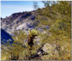 desert scene (Father Tony) Tags: arizona cactus plant phoenix landscape photo adobephotoshopelements canoneos50d ortoneffect ef70200mmf4lisusm exposurefusion adobephotoshopelements7 alienskinexposure3 arizonajanuary2011