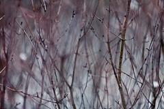 Fine For Now (MightyBoyBrian) Tags: desktop blue winter wallpaper plants abstract dead sticks purple bare twigs hue grizzlybear finefornow