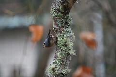 IMG_7666 (Natural Kingdom) Tags: sittaeuropaea eurasiannuthatch 茶腹鳲 鳲科