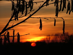 Catkins at Sunset