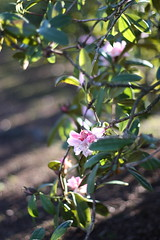 First blush of pink.... (Carrie Minns) Tags: pink flowers spring rhodies