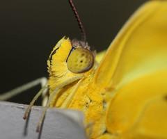 Yellow Moth profile (tinica50) Tags: macro nature moth mariposa macrolicious beautifulmonsters