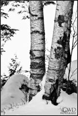 Snow Birch (GWD Photography) Tags: statepark winter blackandwhite bw snow newyork cold tree nature monochrome canon outdoors eos dof zoom freezing adirondacks depthoffield telephoto gordon bark trunk 5d birch frigid markii 100400 adirondackstatepark gwdphotography