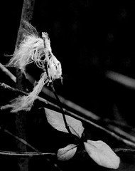 Snagged (nmp.hotography) Tags: bw white black macro bird nature leaves photography 50mm virginia three sticks nikon soft photographer dof feather fluffy richmond snagged f18 noise tri twigs rva feathery plummage whitefeather nmp nmphotography d3100
