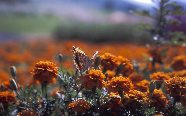 マリーゴールドと蝶のフリー写真素材