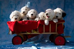 six ladies on a row * explore * (dewollewei) Tags: old english puppy puppies sweet sheepdog expressions bobtail oes oldenglishsheepdog sheepdogs oldenglishsheepdogs queserasera sweetexpressions platinumheartaward dewollewei platinumpeaceaward