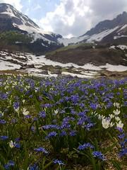 voglia di primavera (lapeppina) Tags: crocus bergamo montagna