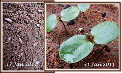 2-week-old seedlings of Ricinus communis (jayjayc) Tags: green maroon seeds foliage malaysia kualalumpur seedlings castoroilplant ricinuscommunis reddishpurple castorbeanplant palmateleaves jjsgarden jayjayc