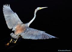 Water Dance (ShacklefordPhotoArt) Tags: bird heron nature florida wildlife