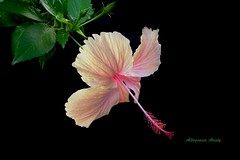 Marissa (Altagracia Aristy) Tags: amrica dominicanrepublic hibiscus hibisco tropic caribbean antilles laromana cayena amapola repblicadominicana trpico antillas caibe quisqueya altagraciaaristy fujifilmfinepixhs10 fujihs10 fujifinepixhs10 caraib carabe