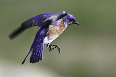 Study of a Western Bluebird in Flight (multiple views) (Bob Gunderson) Tags: california nature birds northerncalifornia bluebirds centralvalley westernbluebird sialiamexicana capayvalley specanimal avianexcellence bestofblinkwinners