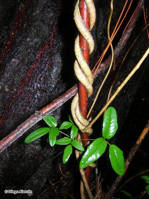 <br><br><br><br>Vástagos leñosos del Voqui Pilpil <i>Boquila trifoliotala</i> trepando una rama en el bosque. Cordillera de Nahuelbuta, Región del Biobío.