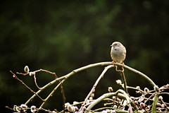 Shy (ms holmes) Tags: verde green bird shy dunnock vert grn tamron vogel schchtern weidektzchen hedgesparrow scheu heckenbraunelle canoneos1000d