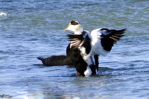 Common eider shows his stuff