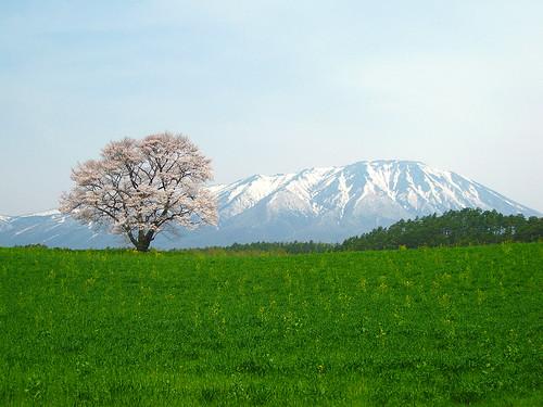 一本桜と岩手山 (A cherry tree and Mt. Iwate)