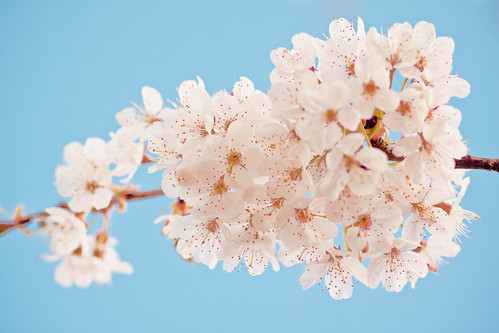 Dreaming of frothy white blossom....