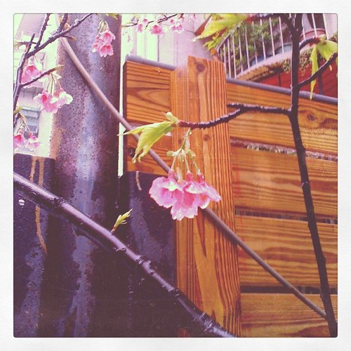 2011sakura。216巷的早謝櫻花