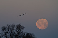 Bald Eagle Moon (w4nd3rl0st (InspiredinDesMoines)) Tags: winter sunset wallpaper urban orange moon fish jason cold color bird nature water beautiful sunrise canon computer river scott spectacular fun photography flying droplets illinois wings fishing downtown eagle screensaver outdoor dam wildlife baldeagle inspired iowa tourist mature raptor 7d plugin nik soaring dslr impressive desmoines fisheagle baldeagles stockphotography efx 2011 100400l 100400 eaglefishing leclaire scottave lightroom3 bestplaces colorefx inspiredphotography supermoon nikcolorefx mrachina wwwinspiredphotographydsmcom scottavedam w4nd3rl0st