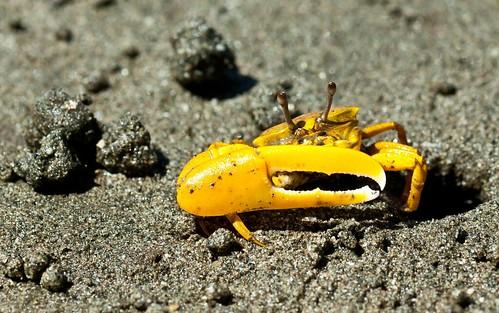 Violinist crab...