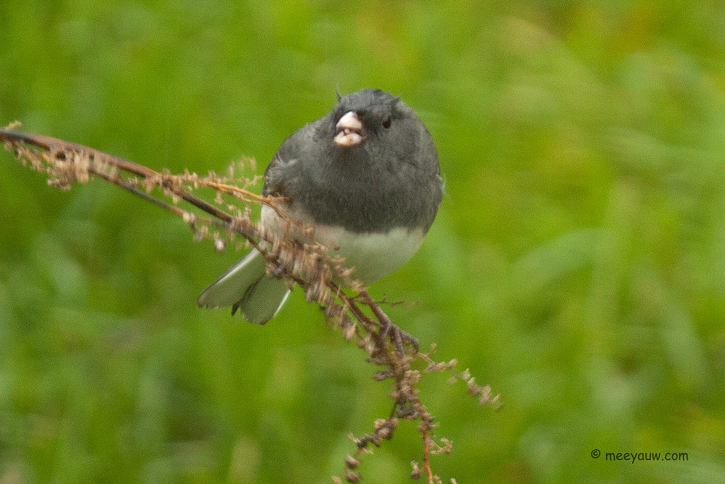 Dark-eyed (Northern) Juncos  08.jpg