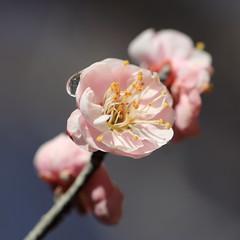 HBW with Japanese Plum! (Apricot Cafe) Tags: pink white flower yellow japan japaneseplum japaneseapricot tokyo東京 yakushiikepark薬師池公園 prunusmume梅 canonef100mmf28lmacroisusm