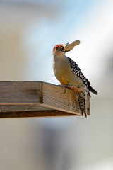 Red-Bellied Woodpecker With Peanut (Brian E Kushner) Tags: redbelliedwoodpecker melanerpescarolinus red bellied belly woodpecker redbellied newjersey audubon nikon d7000 nikond7000 bird birds backyardbirds bkushner backyard wildlife audubonnj animals birdwatcher brianekushner nikon600mmf4afsvr afsnikkor600mmf4gedvr 600mm f4 nikor brian kushner nj
