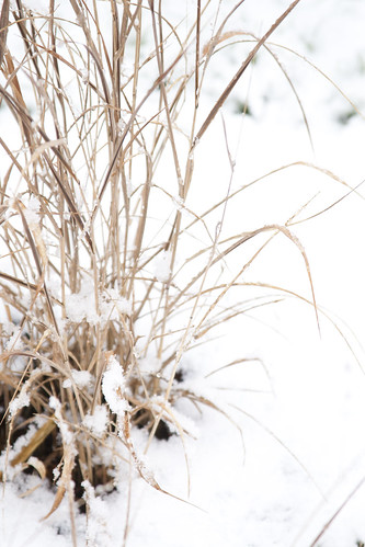Snow on Panicum Shenandoah