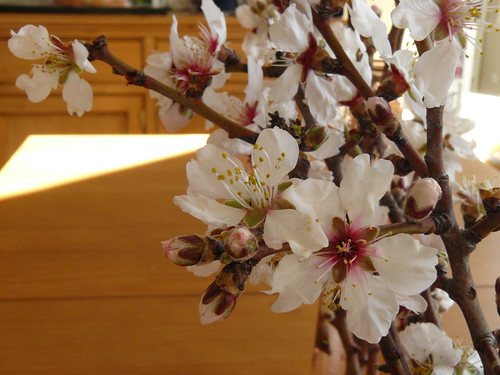 almond blossoms in the late afternoon