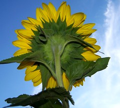 behind the sunflower (dominotic) Tags: sunflower plant flower nature behindtheflower yellow helianthusannuus