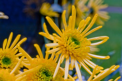 Chrysanthemum Flower (futureal33) Tags: flowers flower macro crocus daffodil bouquet chrysanthemum snowdrop chrysanthemums plasticflower fakeflower crocusflower chrysanthemumflower snowdropflower canon60mm28 graveflowersmixedbouquet