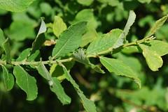 Salix aurita,  Cambourne DSC_0425 (Cladoniophile) Tags: trees tree willow identification botany salix sallow salicaceae
