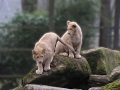 Playing kitties ;-) (Wilma1962*) Tags: zoo lion whitelion dierentuin leeuw ouwehandsdierenpark witteleeuw mygearandme mygearandmepremium mygearandmebronze mygearandmesilver mygearandmegold