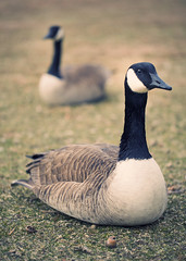 Canadian Geese (Jen and a Camera) Tags: delete10 delete9 delete5 delete2 geese delete6 delete7 save3 delete8 delete3 save7 save8 delete delete4 save save2 save9 save4 save5 canadiangeese save6 canoneos5dmarkii canonef100mmf28lmacroisusm