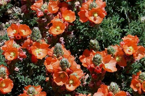 100_3750a_Orange_Flowers