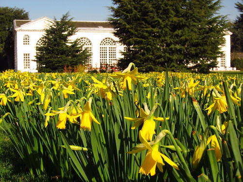 Daffodils at the Orangery, Kew Gardens