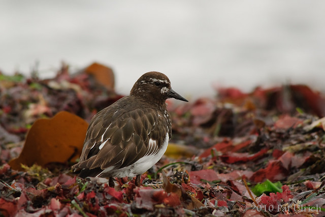 Black turnstone in kelp - Pat Ulrich Wildlife Photography