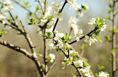 Plum Blossoms (Livvy Taylor) Tags: flowers tree leaves fruit leaf spring branch bokeh blossoms plum twig fruittree plumblossoms
