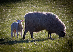 Spring lamb (rogueslr) Tags: photoshop canon spring only lamb acr 50d cs5