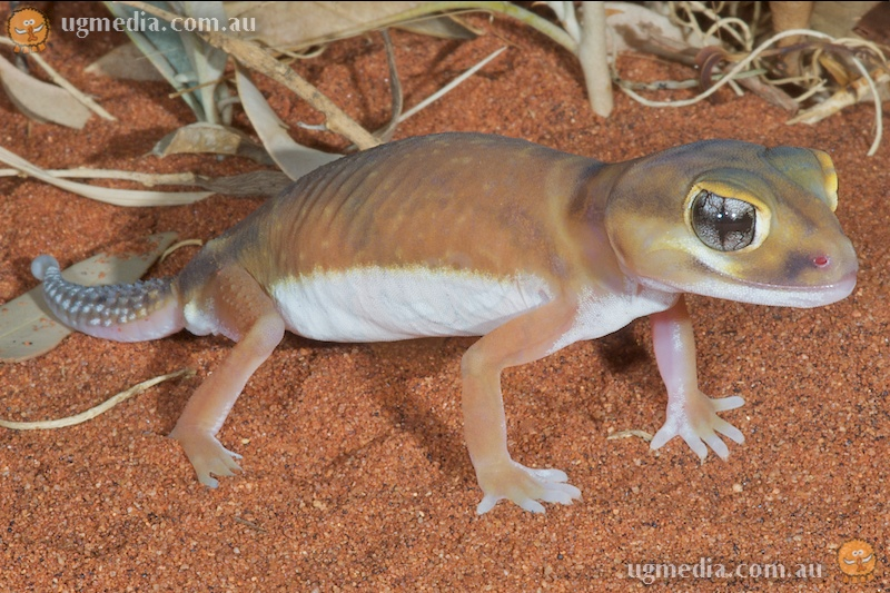 Pale knob-tailed gecko (Nephrurus laevissimus)