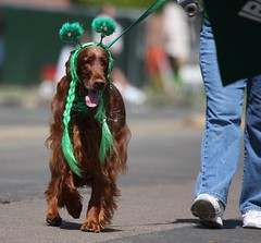 Irish Setter in costume (San Diego Shooter) Tags: dog dogs sandiego streetphotography irishsetter stpatricksday dogincostume sandiegostreetphotography stpatricksday2011 sandiegostpatricksdayparade2011