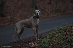 IMG_7544_bc (paraleptomys) Tags: shadow dog beautiful grey ghost grau hund weimaraner finn phantom weim
