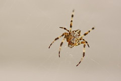 Araigne (The Biguette) Tags: macro insect photography spider insecte arraigne