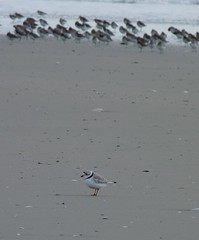Piping Plover with a horde of Dunlin (Dendroica cerulea) Tags: winter bird beach birds newjersey nj aves capemay plover pipingplover dunlin calidrisalpina shorebird charadriiformes charadriusmelodus scolopacidae charadriidae stoneharborpoint