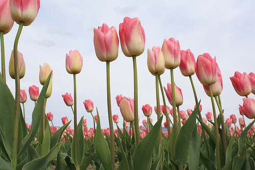 Pink and white tulips in Skagit Valley