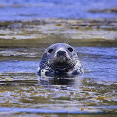 Grey Seal (Johan J.Ingles-Le Nobel) Tags: seal scilly greyseal johanjingleslenobel