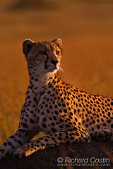 Cheetah in the Masai Mara (Richard Costin) Tags: africa animals kenya wildlife safari cheetah mammals bigcats acinonyxjubatus felidae acinonyx massaimara