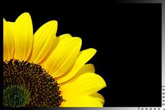 """Joy Amidst Turmoil"" (lennox_tpc) Tags: world life plants nature yellow canon eos petals amazing asia philippines joy happiness sunflower dslr discovery tpc lennox tipidpc 18135mm 60d lennoxtpc"