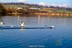 Ready Steady GO! (PMacR) Tags: nature scotland swan dam wildlife country scottish forth clackmannanshire alloa sauchie