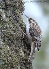 Brown Creeper (Garebear400) Tags: wild brown bird nature nikon wildlife creeper nwr d300 ridgefield