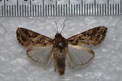 Spodoptera litura (Sachin Gurule) Tags: moth lepidoptera noctuidae mothsofindia spodopteralitura mothsofmaharashtra